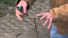 Pruning a Young Peach Tree. Also use this method for the Santa Rosa Plum