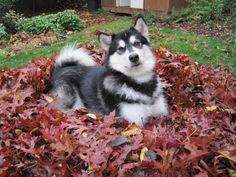 Dubs, the University of Washington's Malamute Mascot in the fall leaves.