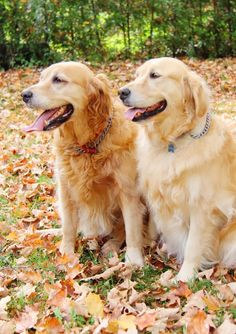 The Golden Girls in the leaves - Laura Clarke Photography #dogs #fall