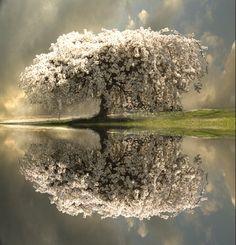 beautiful white flower tree, reflection