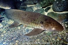 Australian Lungfish, Neoceratodus forsteri   Flickr - Photo Sharing!