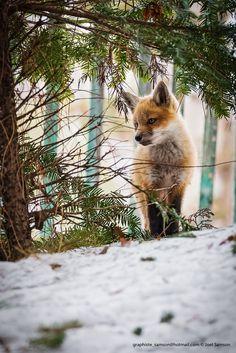 Red Fox Cub by Joel Samson on 500px