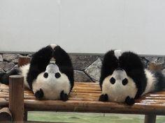 baby pandas saw the pandas in National Zoo