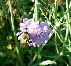 Bumble bee on pincushion.