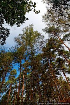 Forêt de Rambouillet (France) - La cime des pins .