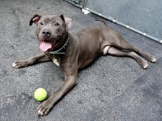 ESCOBAR aka ALEX – A1042766 | Help us Save NYC AC&C Shelter Dogs