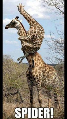 Funny photo shop of giraffes