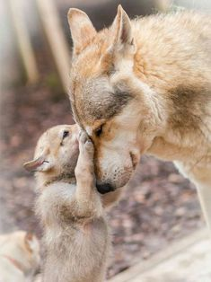 Sweet picture of a wolf pup with mom. Beautiful Wolves, Animals Beautiful, Beautiful Beautiful, Wolf Pictures, Animal Pictures, Nature Animals, Animals And Pets, Animals In Snow, Autumn Animals