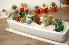 Cactus for window sill above sink in kitchen easy maintenance