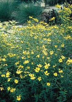 Whorled-leaf Tickseed, Coreopsis major. Sun Perennial. Grows 1-3 feet in height. Native to Indiana.
