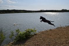 Link, Lab Pit Pix - Full extension on a lake jump at Ft. Hood, Texas.