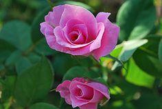 Sister Roses