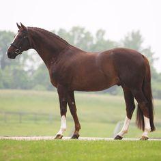 Don Hill (Don Gregory - Hill Hawk xx) Stallion Champion of Dressage at Devon #HTFstallion #FEIhorse #dressage #stallion