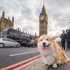 """Hi There, Since everybody tells us that ""you do not see many corgis around"" in London, especially tourists, Marcel Le Corgi and us thought we'd send you some of his latest #corguide photos... can you recognise the sights? ;)"" writes @marcel.lecorgi. #dogsofinstagram #cat #photooftheday #tagsforlikes #dogs"