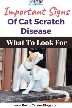 Cat Scratch Disease(CSD) What Is It? And Is it Dangerous? Cat Scratch Disease Is A Bacterial Infection Caused By Bartonella Henselae Bacteria. Most Infections Usually Occur After Scratches From Domestic Or Feral Cats, Especially Kittens. CSD Occurs Wherever Cats...Read More Here! #Fever #CatOwner #CatScratchFever #CatScratchDisease #CatLife #Cats Funny Cute Cats, Silly Cats, Cute Cat Gif, Cool Cats, Cats And Kittens, Cat Care Tips, Pet Care, Cat Scratch Disease, Dangerous Cat