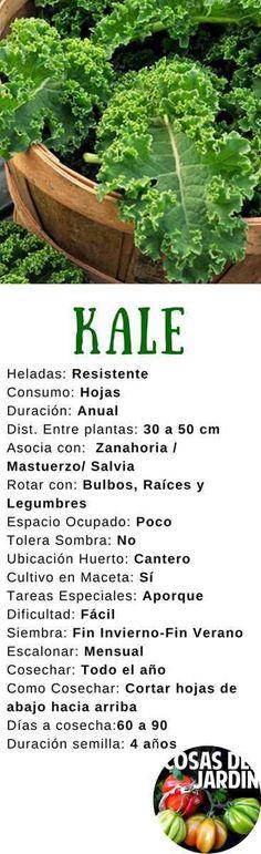 Cultiva tus propias plantas de Kale con esta guía de cultivo. Siembra, Sol, Riego, Cultivo en maceta. Sigue leyendo para conocer todos los secretos #Jardinería #Jardin #Huerto #huertourbano #Cultivar #Kale