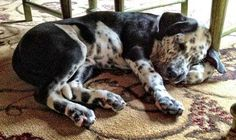 Dalmador (Dalmatian-Labrador Retriever Mix)  Puppies Info and Pictures
