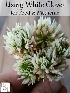 using white clover for food and medicine...