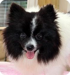 Yardley, PA - Pomeranian Mix. Meet Twitter, a dog for adoption. http://www.adoptapet.com/pet/13252708-yardley-pennsylvania-pomeranian-mix