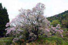 奈良大和路の四季―佛隆寺千年桜