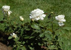 Do you know what white roses symbolize? Brush up on your rose-color meanings here in time for Valentine's Day: http://landscaping.about.com/cs/rosebushes/a/rose_colors.htm