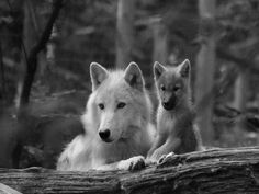 Have you ever seen the tenderness that a female wolf gives to her babies? The Arctic Wolf (Canis lupus arctos), also called Polar Wolf o. Wolf Husky, Wolf Pup, Wolf Spirit, Spirit Animal, Wolf Pictures, Animal Pictures, Amazing Pictures, Beautiful Creatures, Animals Beautiful