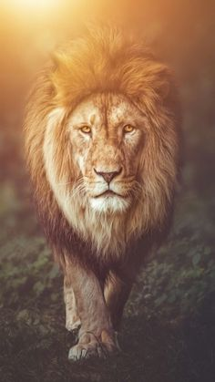 Best Lion Photos You Never Seen Before - Animals Comparison Lion Live Wallpaper, Lion Wallpaper Iphone, Wild Animal Wallpaper, Live Wallpapers, Lion Images, Lion Pictures, Lion And Lioness, Lion Of Judah, The Lion