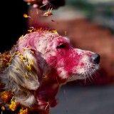 Tihar, la festa delle luci, uno dei più importanti festival indù del Nepal, una ricorrenza di grande importanza, perché non celebra soltanto divinità e persone, ma anche gli animali: corvi, mucche e cani.  www.dogsandpeople.it