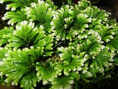 frosty ferns | center, I also found this adorable little plant called a 'Frosty Fern ...