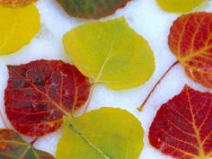 Colorful Aspen Leaves on Snow, Colorado, USA Photographic Print by Julie Eggers at AllPosters.com