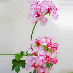 Rare Red Butterfly Geranium Seeds Flower Pelargonium Peltatum Indoor Rooms 30PCS