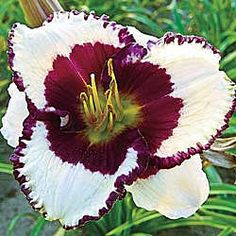 Border Music Reblooming Daylily grows 24 to 26 inches in Sun to Part Shade and blooms Midsummer AND Early Fall. ZONE I want this in my flower beds. Exotic Flowers, Tropical Flowers, Beautiful Flowers, White Flowers, Reblooming Daylilies, Art Beauté, Daylily Garden, Spring Hill Nursery, Plant Zones