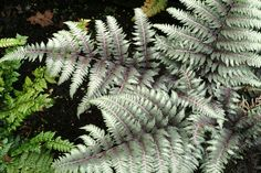 Athyrium Niponicum var. Pictum 'Pewter Lace',Painted Lady Fern 'Pewter Lace', Japanese Painted Fern 'v', Athyrium niponicum 'Pewter Lace', Shade plants, shade perennial, plants for shade, plants for wet soil, Silver F