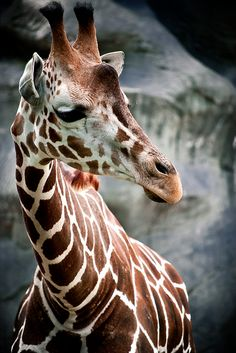 Giraffes can run as fast as 35 miles an hour over short distances, or cruise at 10 mph over longer distances.