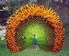 "⭐""Indian Peacock."" Hmmm ... almost looks like a sunflower photoshopped onto a peacock. I wonder ...                                                                                                                                                     More"