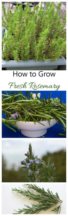 Fresh rosemary is one of my favorite spices to have on hand for cooking. It is very easy to grow and I can cut from it even in the winter months. See my tips for growing it on thegardeningcook.com
