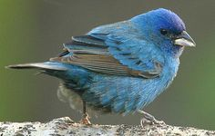 Indigo Bunting  Habitat: Overgrown fields, orchards, roadsides, thickets and open spaces near woods.  Diet: Seeds, insects, grains and berries.  Backyard Favorites: Nyjer (thistle) on the ground or in a tube feeder; likes birdbaths.