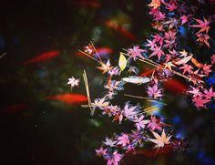 #紅葉 #鯉 #秋 #和 #japanese  #ボタニカル#アプリ#greensnap #園芸 #花部 #フラワー #花のある暮らし  #gardening #flowerstagram #florist #greenthumb #greenlife #plants#botanical#igersjp