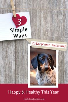 Three EASY WAYS to keep your Dachshund Healthy: provide quality dog food, follow a feeding schedule, and maintain healthy habits.  #dachshund  #doxie