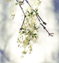 Free PS/PSE actions by Nelly Nero.    (Image of Maple Flowers by forestlady, via Flickr)