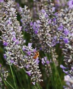 Honeybees are drawn to lavender. Mother Earth News article