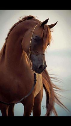 I usually don't like Arabians but this one caught my attention