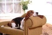 Basset hound Stock Photos / Pictures / Photography / Royalty Free Images at Inmagine