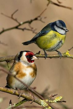 Goldfinch with a Blue Tit.. Terrific capture. Well done...