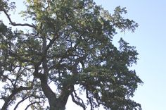 Do you experience allergies from oak tree pollen?