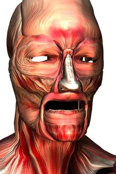 The head has a complex network of muscles and tendons.