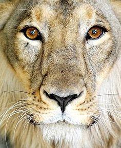 beautiful...beautiful Aslan...
