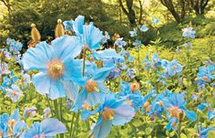 blue poppy feilds | Fields apart: Himalayan poppies may look a lot like the Welsh poppy ...