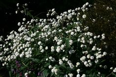 Ranunculus aconitifolius 'Flore Pleno' 1.jpg