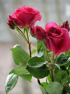 Raspberry pink roses